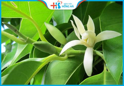 hoa ngọc lan chữa vô sinh