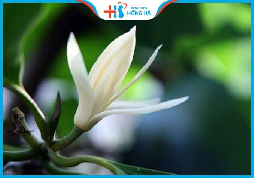 cây thuốc chữa vô sinh hoa ngọc lan